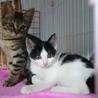 白黒  ハチワレ 女の子 2ヶ月 甘えん坊な美猫