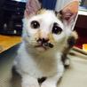 顔も性格もユニークなミケ猫ちゃんです