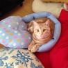 大人しいマンチカンの猫ちゃん