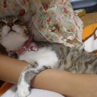 スレンダーな美仔猫3ヶ月♀里親決定しました♪