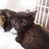 兄弟黒茶猫ちゃん1.5ヶ月