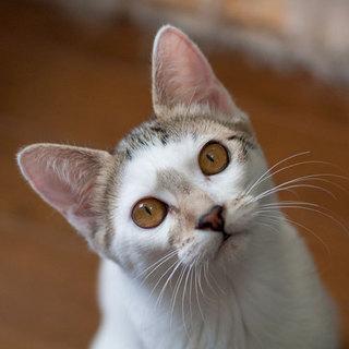 とても美形な白キジちゃん