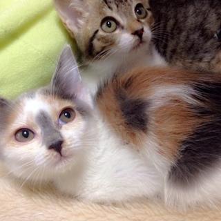 3ヶ月の三毛仔猫♀お陰様で里親決定しました。