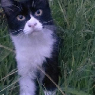 黒白子猫カール