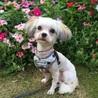 超小型犬MIX  1歳前くらい