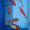 鯉と成長した小赤