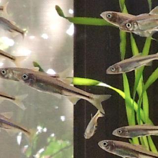 自家繁殖カワムツの稚魚 里親募集