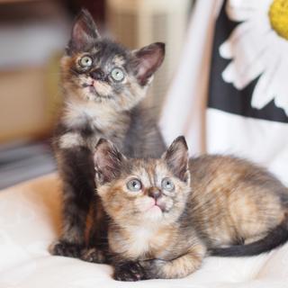 サビ猫姉妹の飼い主さま募集