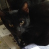 黒猫・目が金色・おっとりチョコッと白パンツ君♪ サムネイル6