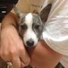 ❤️太めのイタグレみたいなハンサムな保護犬❤️