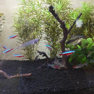 カージナルテトラなど複数種類の熱帯魚