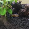 カージナルテトラなど複数種類の熱帯魚 サムネイル3