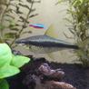 カージナルテトラなど複数種類の熱帯魚 サムネイル4