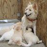 ふわふわでかなり小柄な中型犬 茜ちゃん サムネイル2