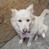 ふわふわでかなり小柄な中型犬 茜ちゃん サムネイル3