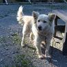 ふわふわでかなり小柄な中型犬 茜ちゃん サムネイル4