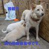 ふわふわでかなり小柄な中型犬 茜ちゃん サムネイル5
