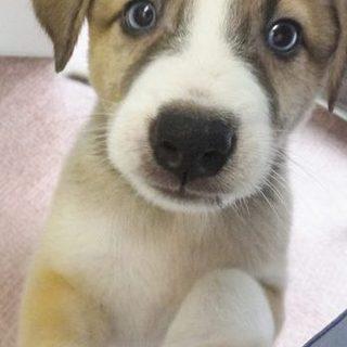 目がハスキーのように青い2ヶ月の雑種の仔犬です!