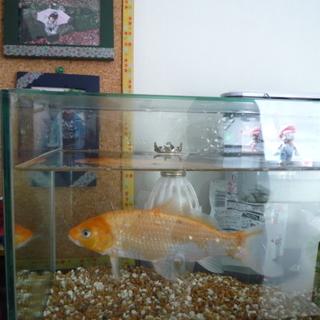 金魚の里親募集