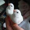 白キンカチョウ 2羽 今年8月生まれ 譲ります