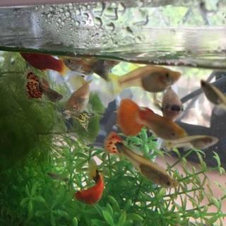 外国産グッピー稚魚、幼魚もらってください!