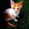 青と黄色のオッドアイの子猫