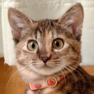 美しすぎるサビ猫ピコちゃん