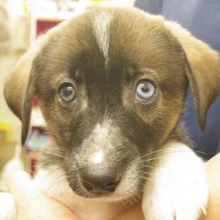 目がハスキーのように青いこげ茶の雑種の仔犬です!