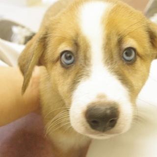 目がハスキーのように青い茶白2ヶ月の雑種です!