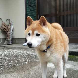 柴犬★14才★オス★健康状態良好
