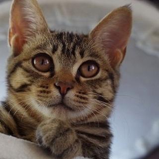 6月生まれのキジトラ♀