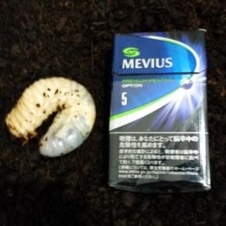 国産カブトムシ幼虫 20匹から30匹