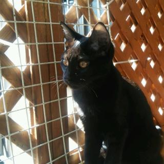 控えめな性格で可愛い猫たち!黒♂サビ♀(一時停止)