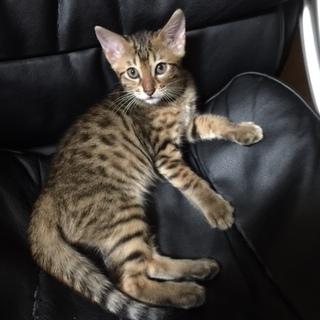 ベンガル子猫:生後2か月の男の子!血統書付