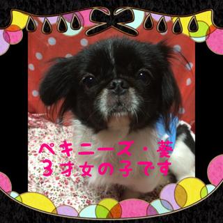 可愛いペキニーズ葵ちゃんは3歳の甘えん坊さん