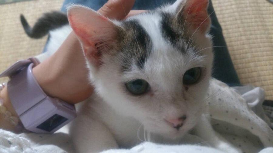 「【白グレー】ペルセウス(仮名)」三重県 - 猫の里親募集(86753)