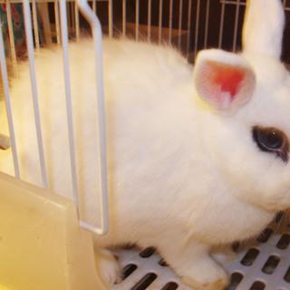 ドワーフホト 1歳10ヶ月(青い目)
