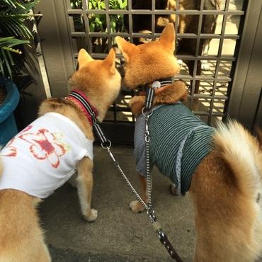 近所の秋田犬との挨拶