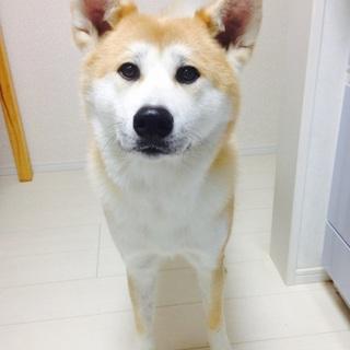 人懐こく穏やかな秋田犬のモモ♡