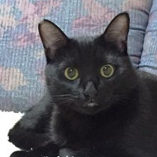つやつやの黒猫くんです。 1歳くらい