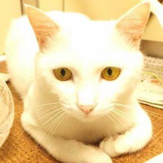 写真写り良し!毛並み良し!綺麗な白猫の男の子です♬