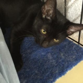 黒ちゃん子猫の黒豆✿女の子7か月