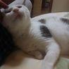 穏やかで大人しい大人猫【小町♀】 サムネイル3