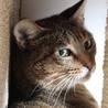 他猫とも仲良し♪大人しいムギワラキジ女子【ねね♀】 サムネイル2