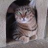 他猫とも仲良し♪大人しいムギワラキジ女子【ねね♀】 サムネイル7