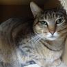 他猫とも仲良し♪大人しいムギワラキジ女子【ねね♀】 サムネイル5