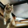 ふさふさシッポの三毛猫さん サムネイル2