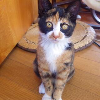 サビミケののんびり屋さん仔猫 二ヶ月