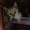 白シャム系子猫 白ちゃん 2ヶ月