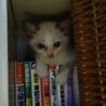 シャム系子猫 雪ちゃん 2か月